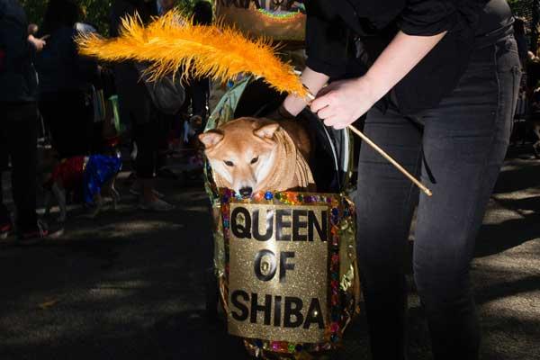 queen-of-shiba
