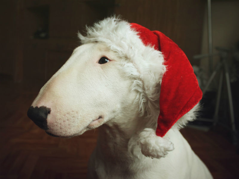 dog holiday hat