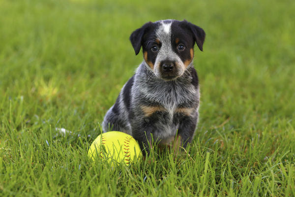 puppy guarding ball