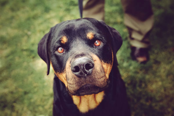 rottweiler dog picture