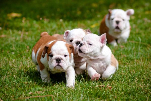 running_bulldogs