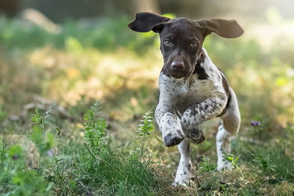 10 Things Only a German Shorthaired Pointer Owner Would