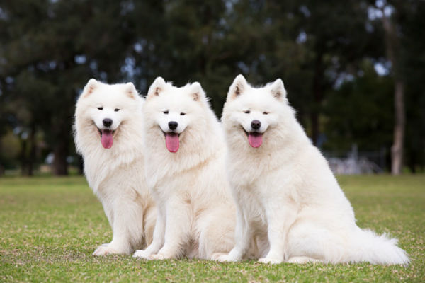 samoyed body 1