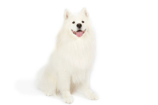 samoyed body 2