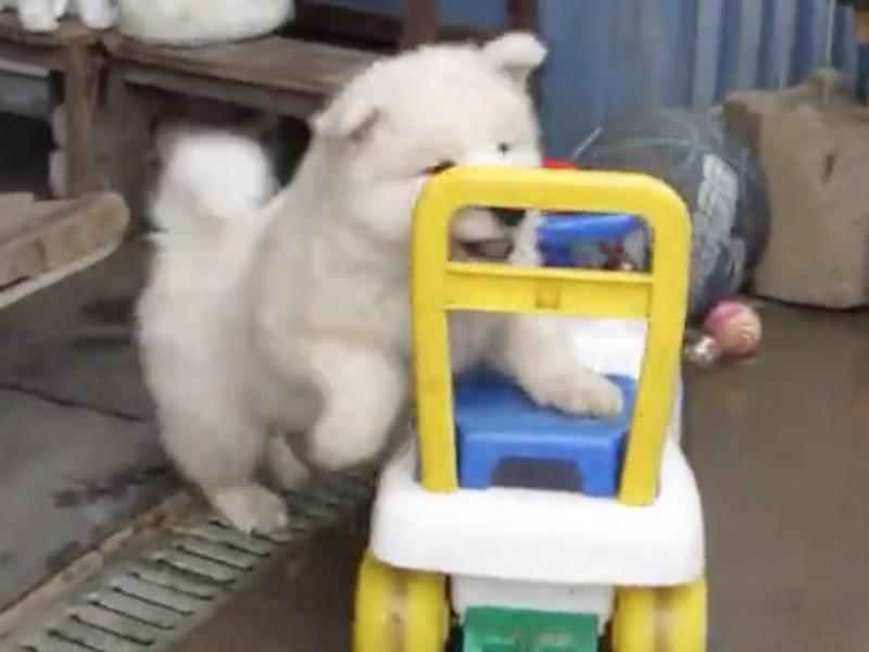samoyed puppy car