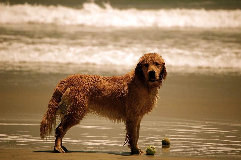 san diego dog on beach