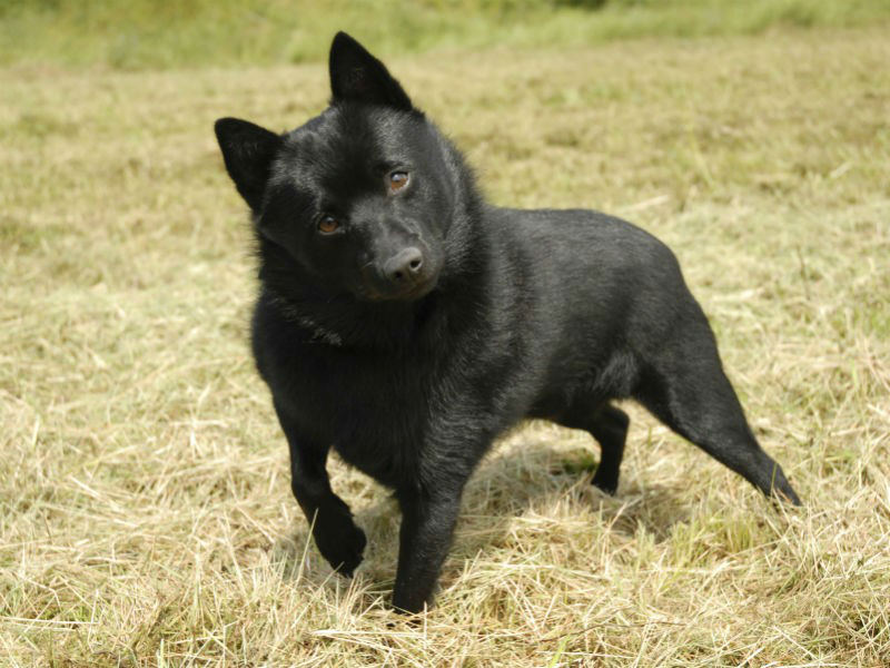 what was the schipperke bred to do � american kennel club