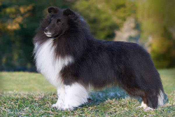 7 Reasons Sheltie Owners Think Their Dogs Are The Best In The World