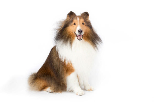 7 reasons sheltie owners think their dogs are the best in the world american kennel club. Black Bedroom Furniture Sets. Home Design Ideas