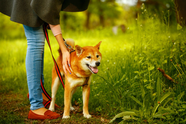 shiba inu on leash