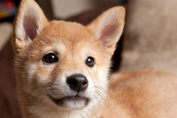 shiba pup