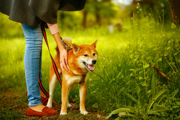 shiba with sitter