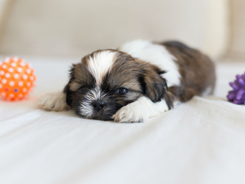 Things You Didnt Know About The Shih Tzu American Kennel Club