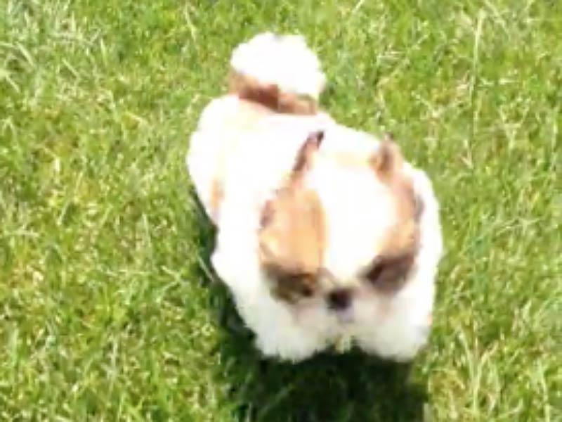 shih tzu puppy tumbles