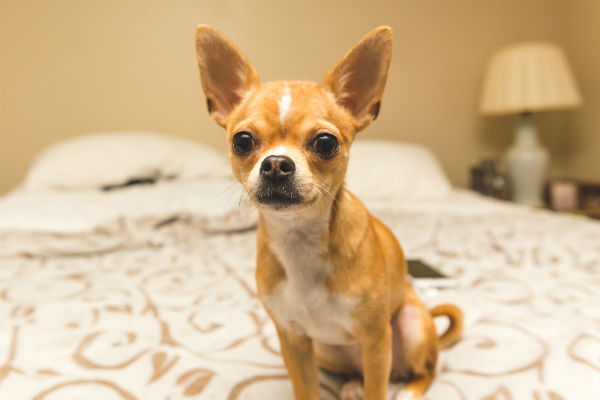 Tiny Dog, Giant Personality: Meet the Chihuahua – American
