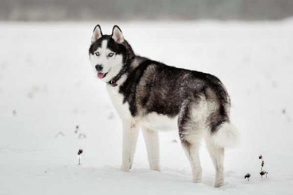 siberian_husky_cold_weather_breeds