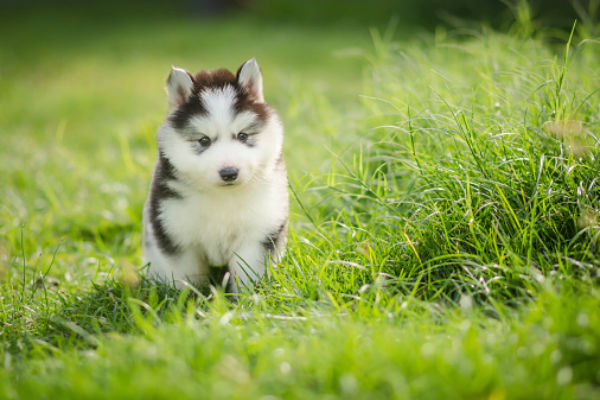 siberian husky cute puppies