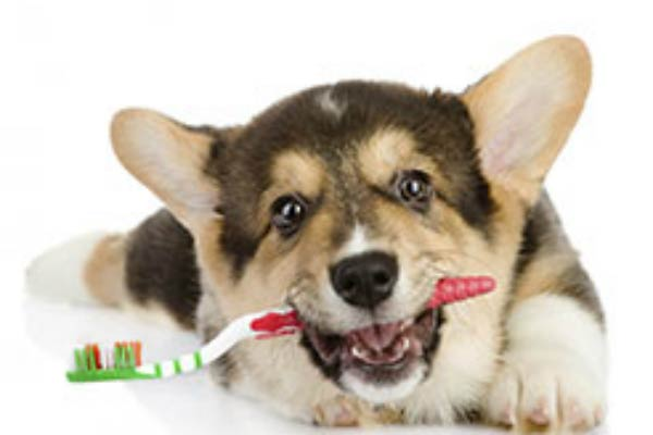 corgi tooth brush