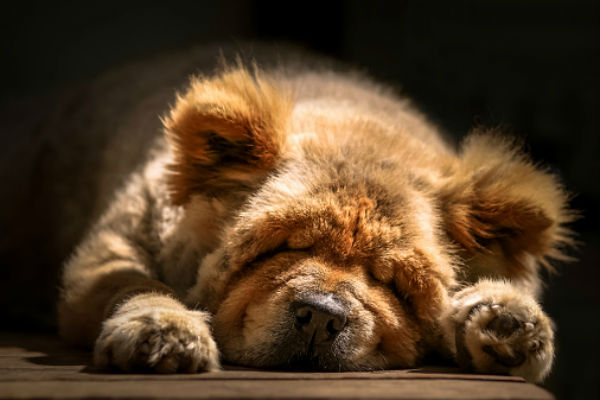sleeping chow