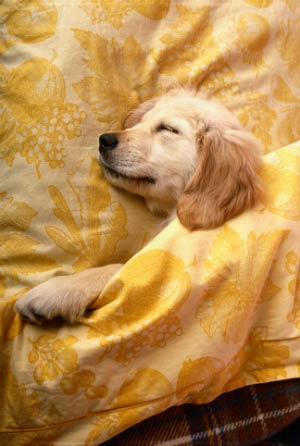 sleeping golden