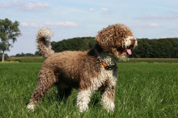[spanish water dog water breeds]
