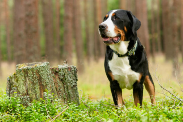 Meet The Muscular And Confident Greater Swiss Mountain Dog