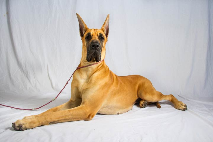 The Great Dane The Apollo Of Dogs In Size And Spirit American