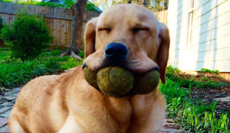 Dog smiling with tennis balls in his mouth