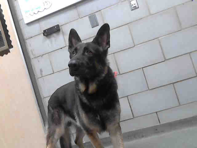 this_german_shepherd