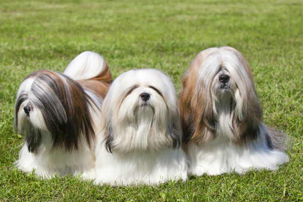 lhaso apso 2