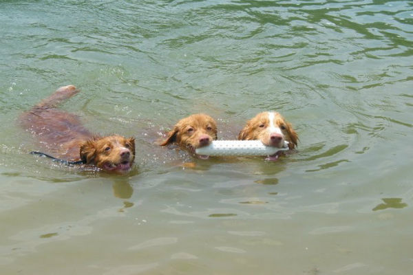tollers swimming