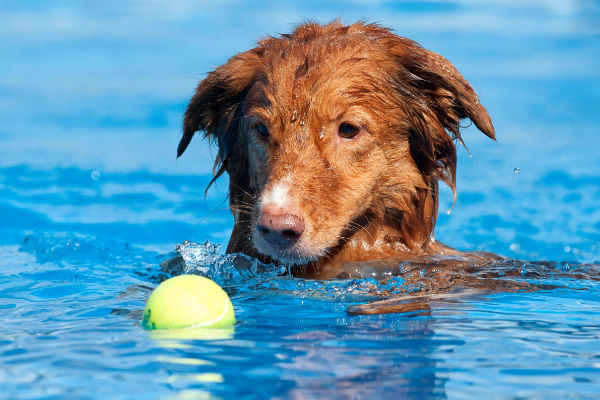 toller tennis ball