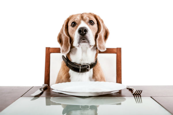 beagle pup at table