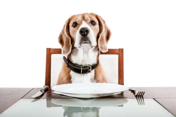 beagle pup at table