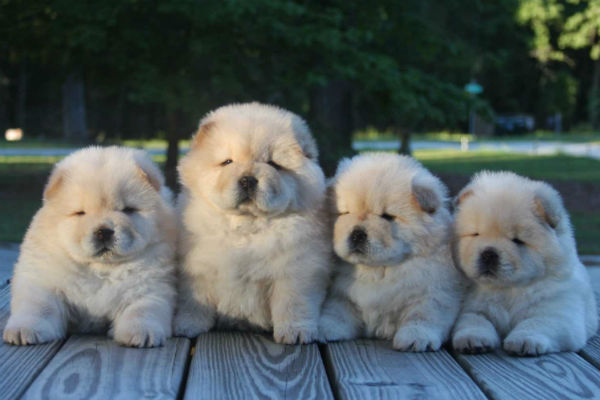 the Chow Chow Is an Unusual Dog Breed
