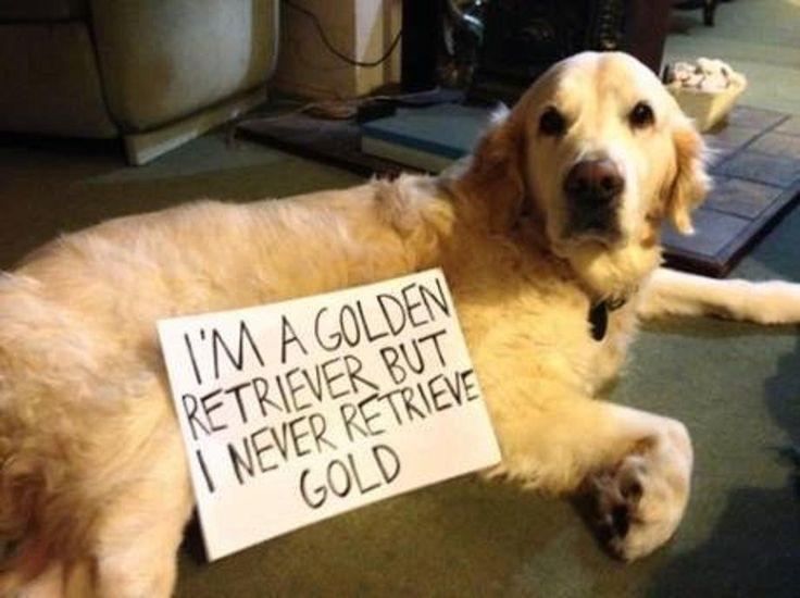 19 Of The Very Best Golden Retriever Memes American Kennel Club