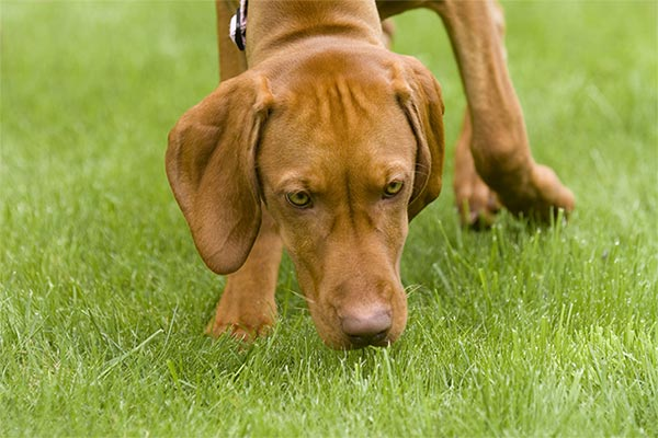 vizsla-smelling-grass-body