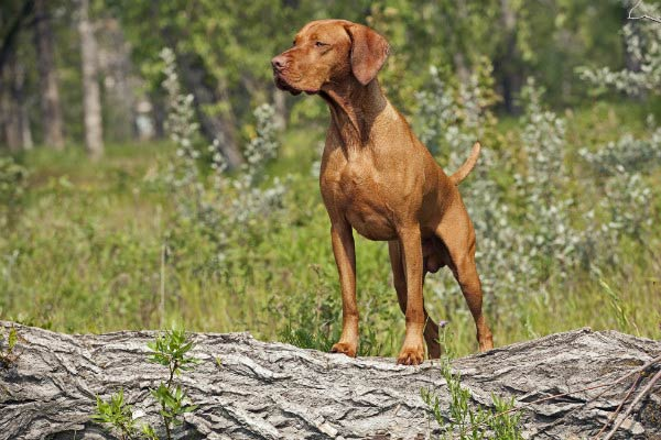 vizsla bird dog