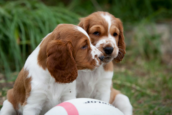 [welsh springer cute puppies]