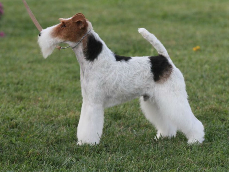 has this breed won best in show