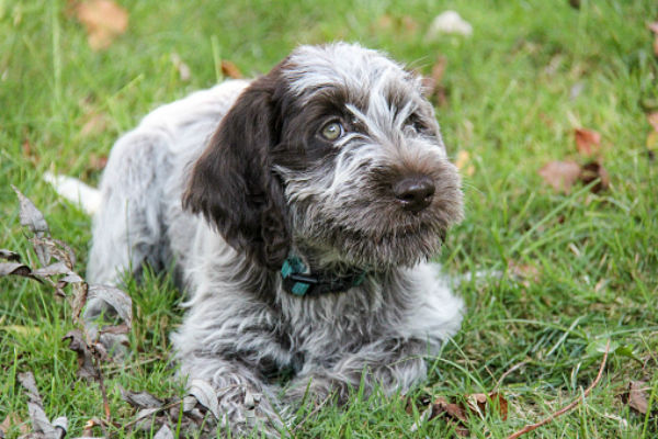 wirehaired pointing griffon cute puppies