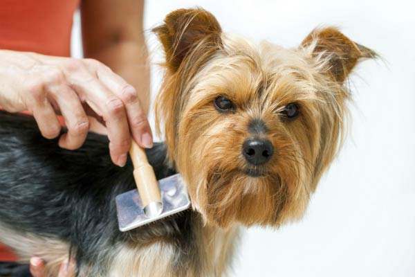 yorkie being brushed