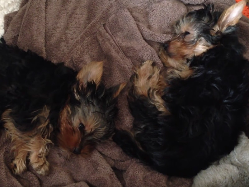 Yorkie Puppies Have the Sleepiest of Nap Times – American