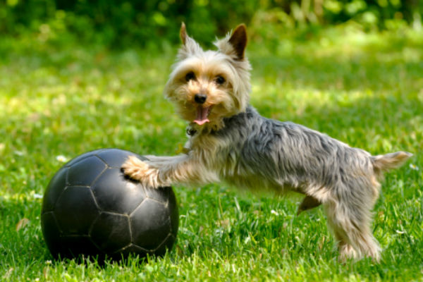 yorkie soccer ball