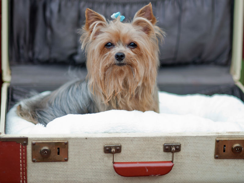 yorkie in suitcase