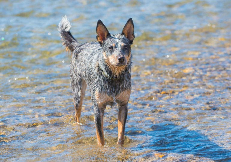 Australian cattle dog header