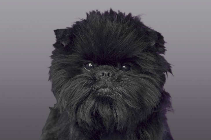 Affenpinscher Dog Breed Information American Kennel Club