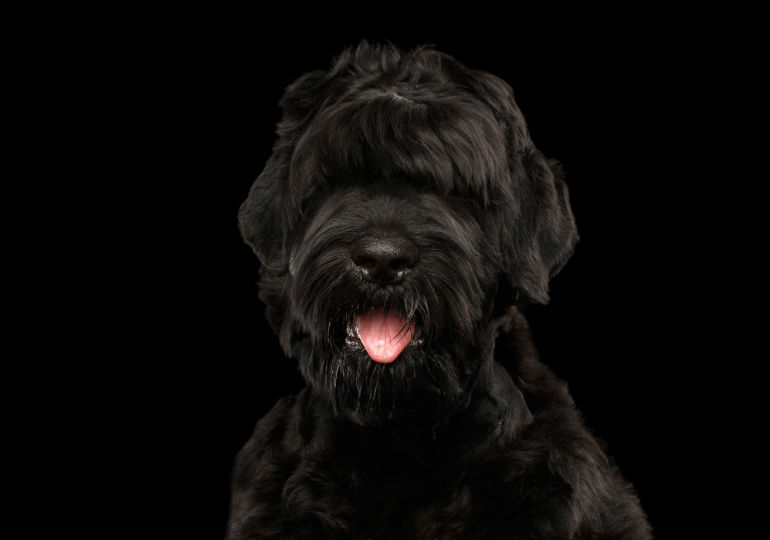 5 Things You Didn T Know About The Black Russian Terrier