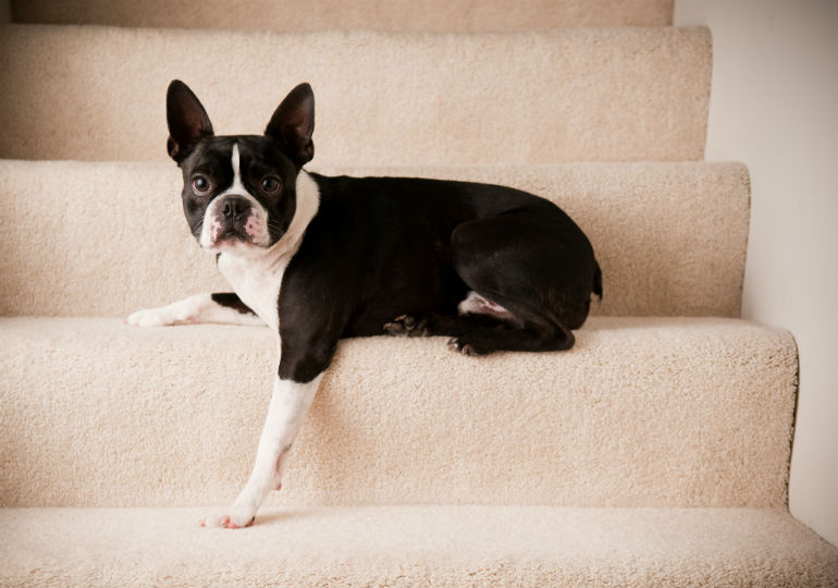 dog stairs header