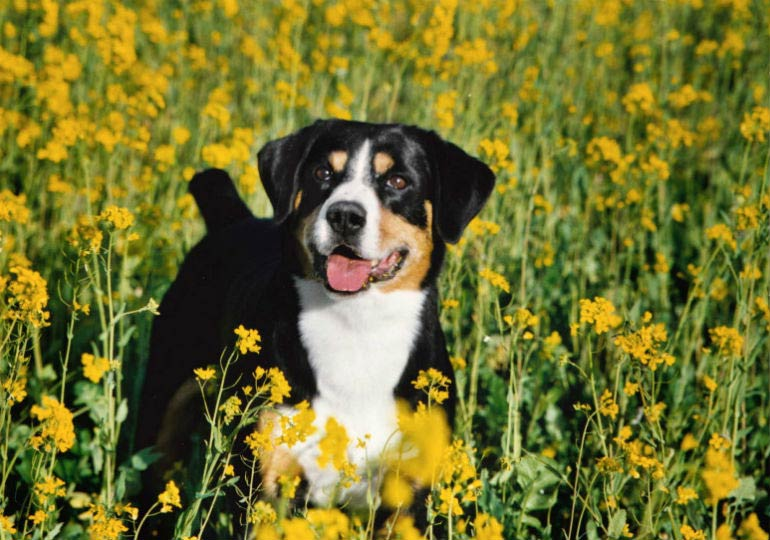 5 things you didn 39 t know about the entlebucher mountain dog american kennel club. Black Bedroom Furniture Sets. Home Design Ideas